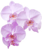 Pink orchid. Beautiful, delicate an exotic flower on a white background royalty free stock photo