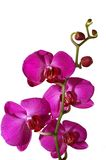 Pink Orchid. Fresh pink orchid on a white background Royalty Free Stock Image