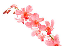 Pink Orchid. On white background royalty free stock image