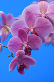 Pink orchid. On blue background Stock Image
