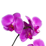 Pink orchid. Isolated on white stock photos