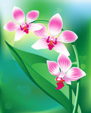 Pink orchid. Beautiful pink orchid on green background Royalty Free Stock Photography