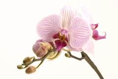 Pink orchid. A pink orchid set against a plain background Royalty Free Stock Photos