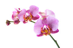 Free Pink Orchid Stock Photography - 22662412