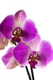 Pink orchid. Stock Photography