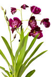 Pink orchid. Royalty Free Stock Images