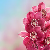 Pink Orchid. Stock Image