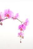 Pink orchid. On the white background Royalty Free Stock Photos