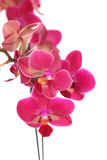 Pink orchid Royalty Free Stock Photography
