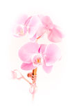 Pink orchid. A pink orchid isolated on white Stock Photography
