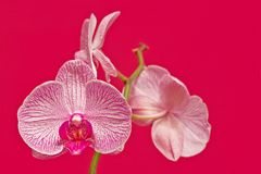 Pink orchid. Close-up of a pink orchid over a pink background Stock Photography