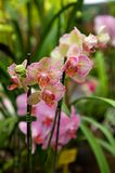 Pink orchid. Exotic and vibrant type of orchid on garden background royalty free stock images