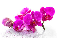 Free Pink Orchid Royalty Free Stock Photography - 34908297