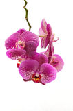 Pink orchid. Isolated on white background Royalty Free Stock Image