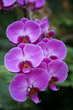 Pink orchid. In botanic garden stock image