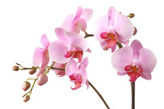 Pink orchid. Isolated on white background royalty free stock photos