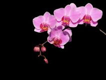 Pink Orchid. Blooming Orchid on a black background stock photography