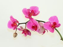 Pink orchid 7. Royalty Free Stock Photo