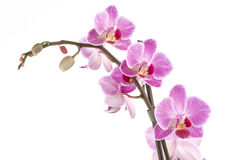 Pink orchid Royalty Free Stock Images