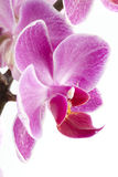 Pink Orchid Stock Images