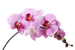 Pink orchid. Orchid on white background. Isolated Royalty Free Stock Photography