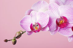 Pink orchid. Orchid - phalaenopsis on pink background Stock Photography