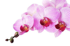 Pink orchid. Phalaenopsis on white background. Isolated Stock Images