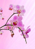 Pink orchid. Beautiful pink orchid on a pink background Royalty Free Stock Photo