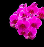 Pink orchid against a black background Royalty Free Stock Photography