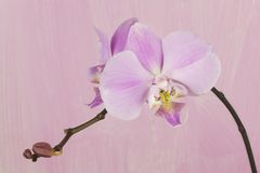 Pink orchid against pink painted background. Pink orchid against pink painted grungy background, studio shot, flower portrait Stock Image