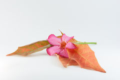 Pink Orchid and Autumn Leaf. In Isolated Object stock photos