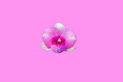 Pink orchid. In pink background Stock Image