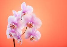 Pink orchid background Royalty Free Stock Photos