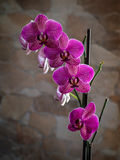 Pink orchid. On the background of a stone wall Stock Images