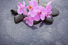 Pink orchid and basalt stones on the black background. Stock Photos
