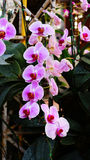 Pink orchid . Stock Photos