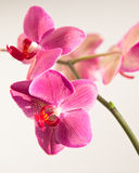 Pink orchid beauty Royalty Free Stock Image