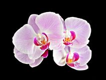 Pink orchid on black Royalty Free Stock Photography