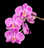Pink orchid on black Stock Photo