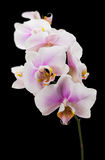 Pink orchid on the black background Stock Photos