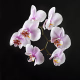 Pink orchid on a black background Royalty Free Stock Image
