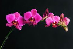 Pink orchid on black Stock Photos