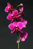Pink orchid on black Royalty Free Stock Photos
