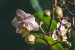 Pink orchid on black blurry background stock photography