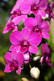 Pink orchid blooming Stock Photos