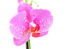 Pink orchid blooming Royalty Free Stock Photography