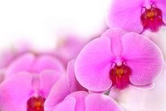 Pink orchid Blooms flower isolated on white background. Stock Images