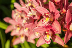 Pink orchid blooms Royalty Free Stock Image