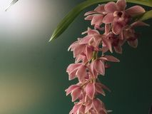 Pink orchid blossom detail Royalty Free Stock Image