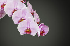 Pink orchid blossom Royalty Free Stock Images